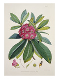 Rhododendron Barbatum, from &#39;The Rhododendrons of Sikkim-Himalaya&#39; Giclee Print by Joseph Dalton Hooker