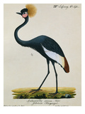 A Crowned Crane Prints by Carl Wilhelm Hahn