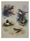 Thrushes Giclee Print by Archibald Thorburn