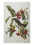 Gray Tyrant. Gray Kingbird (Tyrannus Dominicensis), from 'The Birds of America' Art by John James Audubon