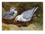 Kittywake Gulls Prints by Archibald Thorburn