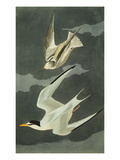Lesser Tern. Little Tern (Sterna Albifrons), from 'The Birds of America' Posters par John James Audubon
