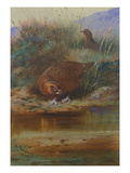 Red Grouse at the Water's Edge Posters par Archibald Thorburn