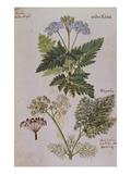 Sweet Cicily, Myrrhis Odorata, Above Baldmoney Plant; Meum Athamanticum. from 'Camerarius… Giclee Print by Joachim Camerarius