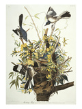 Mocking Bird. Northern Mockingbird (Mimus Polyglottos), Plate Xxi, from 'The Birds of America' Prints by John James Audubon