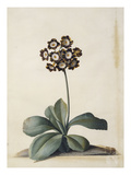 A Purple Variegated Auricula Posters by Georg Dionysius Ehret