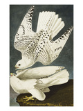 Iceland or Jer Falcon. Gyrfalcon (Falco Rustiocolis), from 'The Birds of America' Prints by John James Audubon