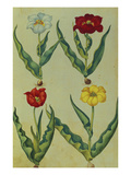 Tulips with Bulbs and Roots. from 'Camerarius Florilegium' Giclee Print by Joachim Camerarius