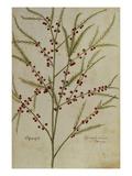 Asparagus. from 'Camerarius Florilegium' Kunstdrucke von Joachim Camerarius