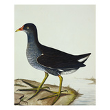 A Moorhen Posters by Christopher Atkinson