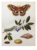 Illustration from 'The Natural History of the Rarer Lepidoterous Insects of Georgia' Giclee Print by John and Sir James Edward Abbot and Smith