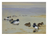 Goldeneye and Tufted Duck Print by Archibald Thorburn