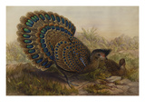 Malayan Peacock Pheasant (Polyplectron Bicalcaratum) Giclee Print by Henry Constantine Richter