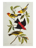 Louisiana & Scarlet Tanager (Tanagra Ludoviciana & Rubra), Plate CCCLIV, from'The Birds of America' Art by John James Audubon