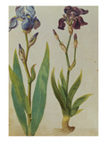 Two Irises. from 'Camerarius Florilegium' Prints by Joachim Camerarius