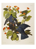 White Headed Pigeon (Columba Leucocephala), Plate Clxxvii, from &#39;The Birds of America&#39; Giclee Print by John James Audubon