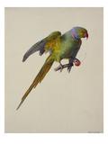Une perruche à collier Posters par Carl Franz Gruber