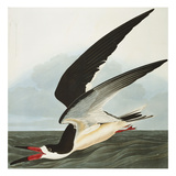 Black Skimmer or Shearwater. Black Skimmer (Rynchops Niger), from 'The Birds of America' Reproduction procédé giclée par John James Audubon