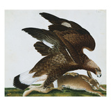 Eagle with Rabbit Prey. Falco Aquila. from 'The Birds of Denmark'; Tegninger Af Danske Fugle Giclee Print by Johan Top