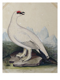 A Ptarmigan Print by Christopher Atkinson