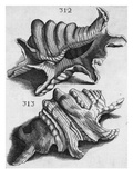 The First Book of Any Size Restricted to Molluscs; Ricreatione Dell'Occhio E Della Mente Nell'… Giclee Print by Filippo Buonanni