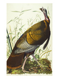 Great American Beck Male. Wild Turkey (Meleagris Gallopavo), Plate I, from 'The Birds of America' Premium Giclee Print by John James Audubon