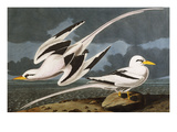 Tropic Bird (Phaeton Athreus), Plate Cclxii, from 'The Birds of America' Prints by John James Audubon