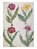 Tulips. from 'Camerarius Florilegium' Posters by Joachim Camerarius