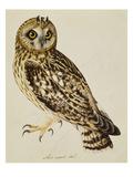 A Short-Eared Owl Stampa giclée di Atkinson, Christopher