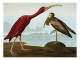 Scarlet Ibis (Eudocimus Ruber), Plate Cccxcvii, from 'The Birds of America' Prints by John James Audubon