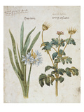 Hemerocallis Valentina and Geranium. from 'Camerarius Florilegium' Art by Joachim Camerarius
