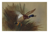 A Mallard Rising from Reeds Giclee Print by Archibald Thorburn
