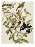 Rose-Breasted Grosbeak (Pheuticus Ludovicianus), Plate Cxxvii, from 'The Birds of America' Prints by John James Audubon