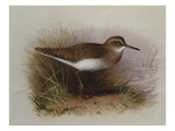 A Common Sandpiper Giclee Print by Archibald Thorburn