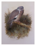 A Wood Pigeon or Ring Dove Posters par Archibald Thorburn