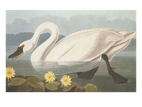 Common American Swan Prints by John James Audubon