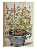Nasturtium; Indian Cress Scrambling over a Trellis in a Blue and White Pot.  from 'Camerarius… Giclée-Druck von Joachim Camerarius