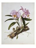 Orchidaceae : Cattleya Mossiae Kunstdrucke von Augusta Withers