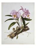 Orchidaceae : Cattleya Mossiae Prints by Augusta Withers
