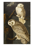 Snowy Owl (Nyctea Scandiaca), Plate Cxxi, from 'The Birds of America' Print by John James Audubon