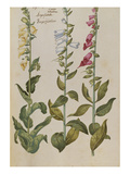 Foxgloves. from 'Camerarius Florilegium' Prints by Joachim Camerarius