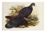 Grey Peacock Pheasant (Polyplectron Chinquis) Giclee Print by Henry Constantine Richter
