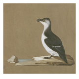 Study of a Razorbill Reproduction proc&#233;d&#233; gicl&#233;e par German School 