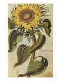 Sunflower. from 'Camerarius Florilegium' Giclee Print by Joachim Camerarius