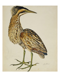 A Bittern Giclee Print by Christopher Atkinson