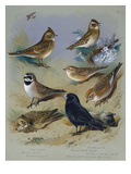 Larks Premium Giclee Print by Archibald Thorburn