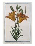 Lilly; Lilium Purpureo. Hortus Romanus Prints by Giorgio Bonelli