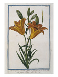 Lilly; Lilium Purpureo. Hortus Romanus Giclee Print by Giorgio Bonelli