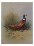 A Cock Pheasant Reproduction giclée Premium par Archibald Thorburn