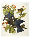 White-Crowned Pigeon (Columba Leucocephala), Plate Clxxvii, from 'The Birds of America' Posters by John James Audubon
